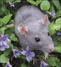 02_rats_wild.jpg