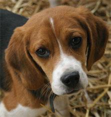 beagle-puppy.jpg