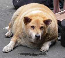 fat-dog.jpg
