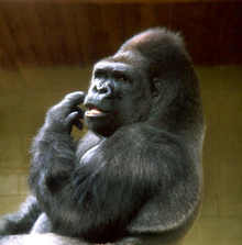 gorilla-0001.jpg