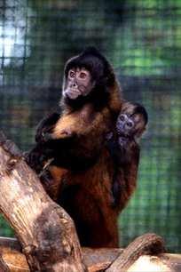 santa_ana_zoos_capuchin_monkeys.jpg